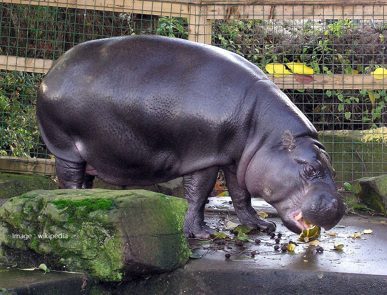 1280px-Bristol.zoo.pygmy.hippo.arp.jpg