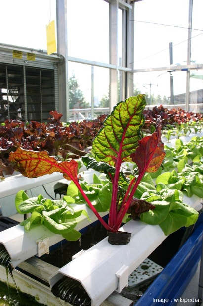 800px-Aquaponics_with_Vibrantly_Colored_Plants.jpg
