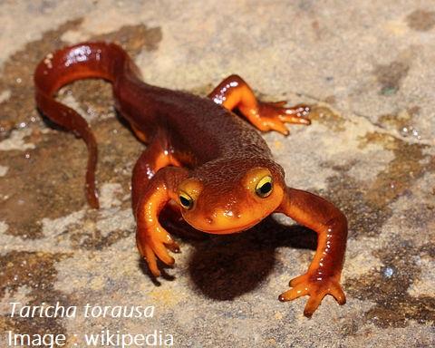 Taricha_torosa,_Napa_County,_CA
